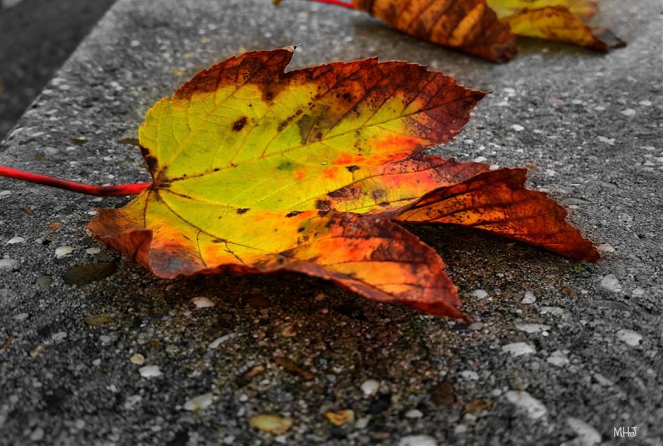good evening   galaxy S5   #photography #blackandwhite #colorsplash #macro #autumn