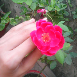 love rose photography