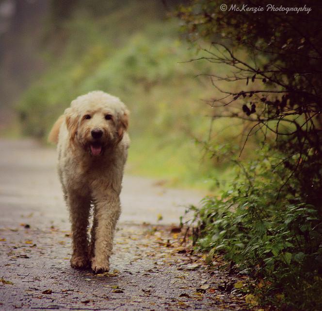#nature #petsandanimals #photography #Goldendoodle #dog