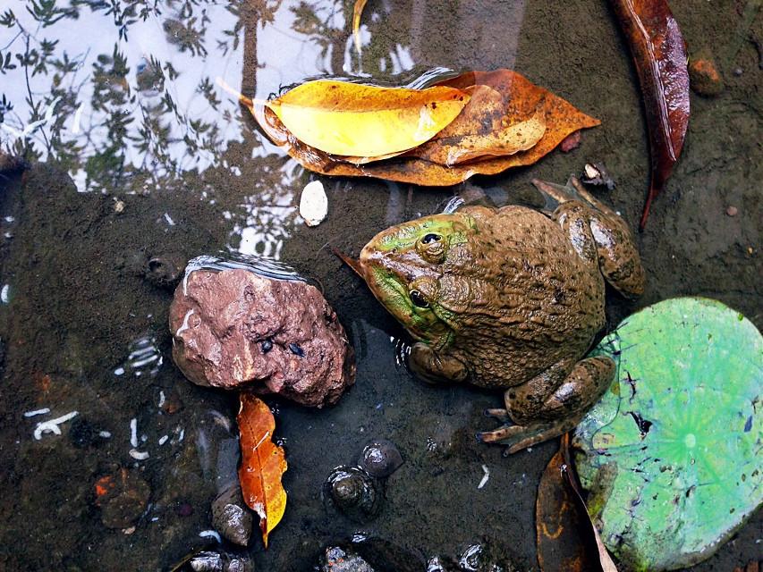 #frog #in #motcot #pagoda