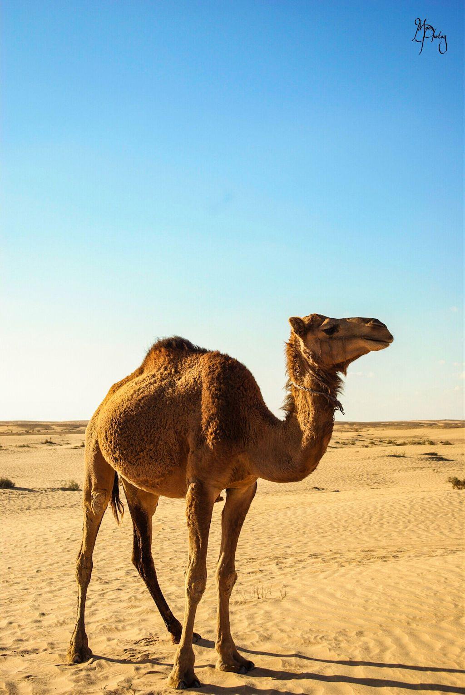 #camel #sahara #simplicity #oldlife #animal #animals #photography