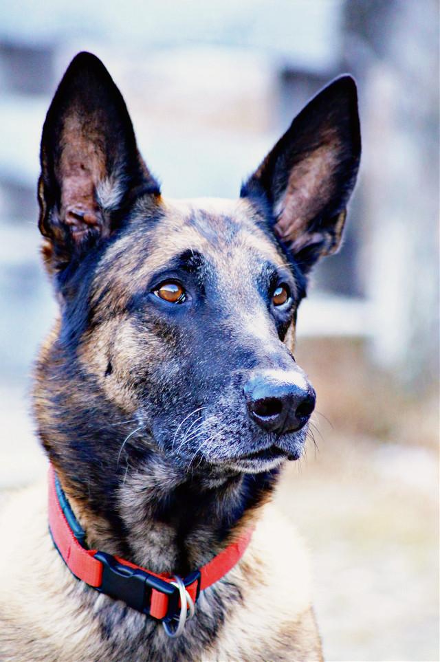 #aragon #salzburg  #hdr #photography #nature #petsandanimals #andi #nice #sweet #hund #dog #dogsport #hundesport #malinois #belgischerschäferhund  #liebe #love