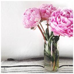 peonies freshflowers pink