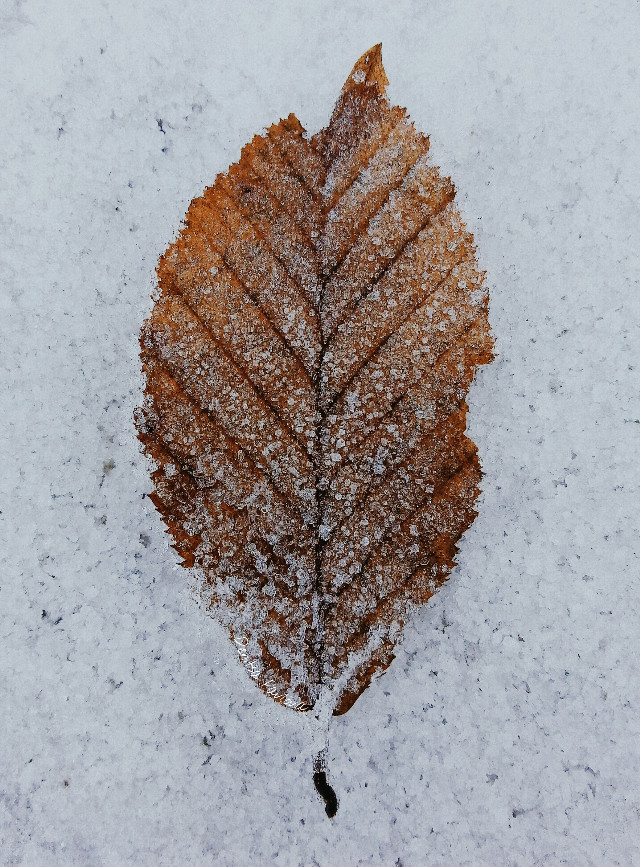 ❄🍁  #leaf #frozen