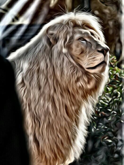 #petsandanimals #nature #feline #beauty #lion #lions  Beautiful Lion  Beautiful nature  France