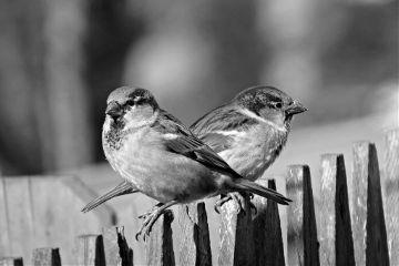 finches birds wildlife blackandwhite