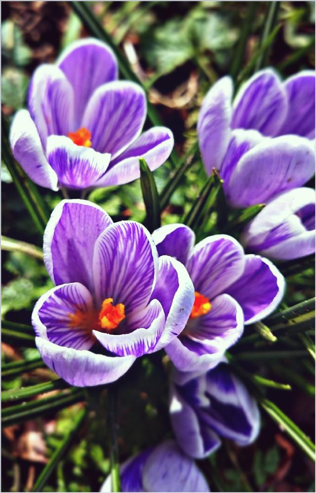#wppflowers #flowers #spring #nature #photography #beauty #garden #colors #colorful  #macro #purple #crocus
