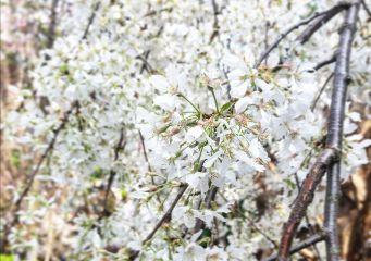 sakura flower colorful color nature freetoedit
