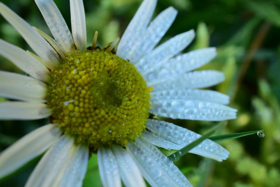 #flower #spring #springtime #blossom #garden #drop #rainingday #macro