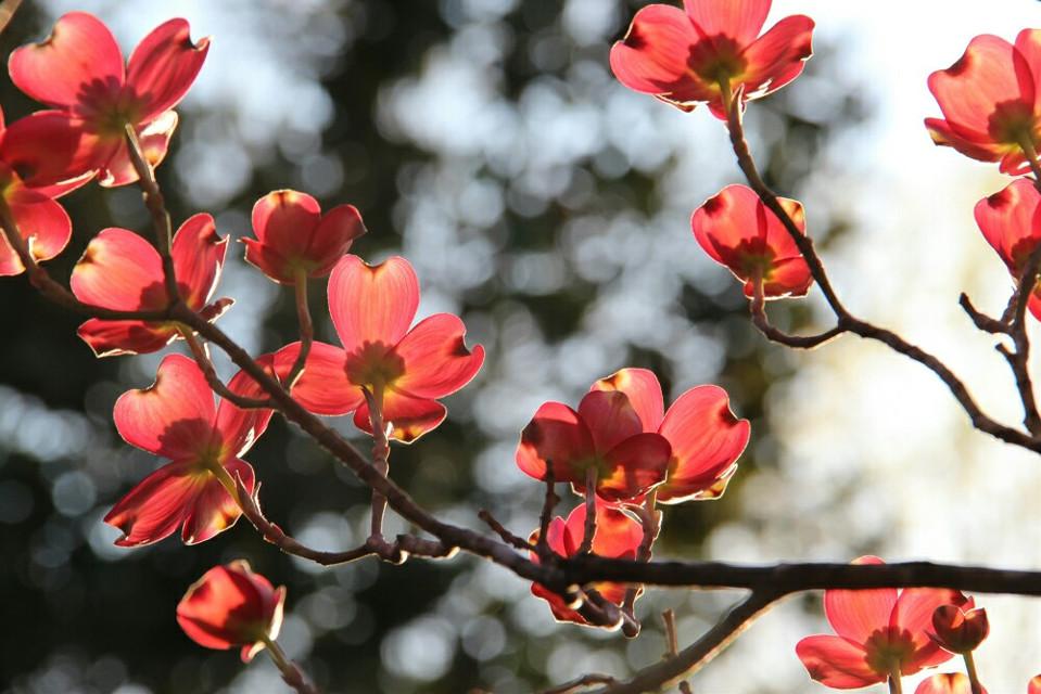 #nature  #flower #pink  #backlight  #bokeh  #spring #trees #highlights #photography #eyecapture