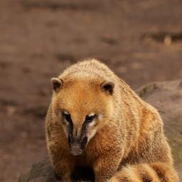 coati photography nature petsandanimals animals