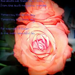 poems flower rose mirrored mirrorliketheactualone